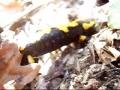 Salamandre tachet�e