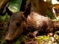 Opossum commun